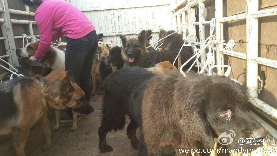 Shut down on a slaughter house in Kunming, 43 dogs rescued ... - photo#37