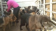 Rescued dogs being transported to the Yixin rescue center