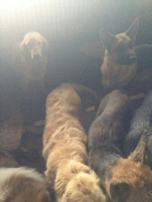 The remaining dogs in the slaughter house. They have been rescued and taken in by the Yixin rescue center.