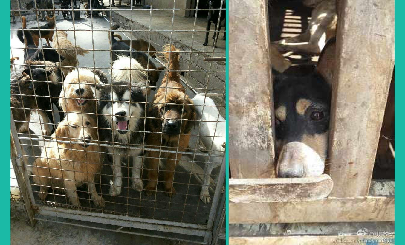 Shut down on a slaughter house in Kunming, 43 dogs rescued ... - photo#13